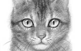 Как нарисовать мордочку кошки простым карандашом поэтапно. Выбор инструментов и материалов