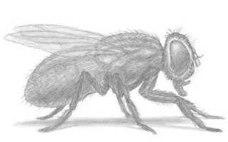 Как нарисовать муху цокотуху карандашом поэтапно. Как нарисовать муху карандашом поэтапно