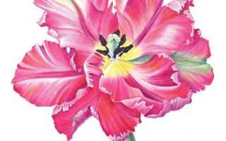 Как нарисовать красный тюльпан. Как нарисовать тюльпаны в саду: акварельный мастер-класс Гвена Скотта