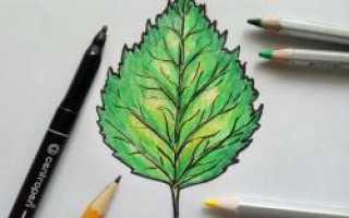 Схемы рисования листьев, веток и деревьев (берёза, ель, дуб, клён). Как нарисовать берёзу цветными карандашами Береза осенью рисунок карандашом