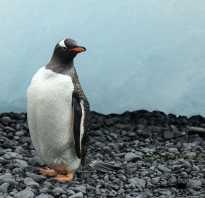 Рисунки карандашом животные легкие пингвины. Как поэтапно нарисовать пингвина: уроки для детей и взрослых